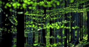 Buchenwald _ Beech Forest